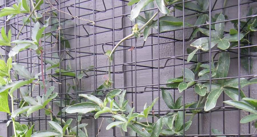 Three Dimension Climber Trellis Mesh Attaches Against The Wall And Plants Climb On It