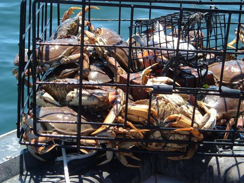Several crabs in the crab traps beside the sea.