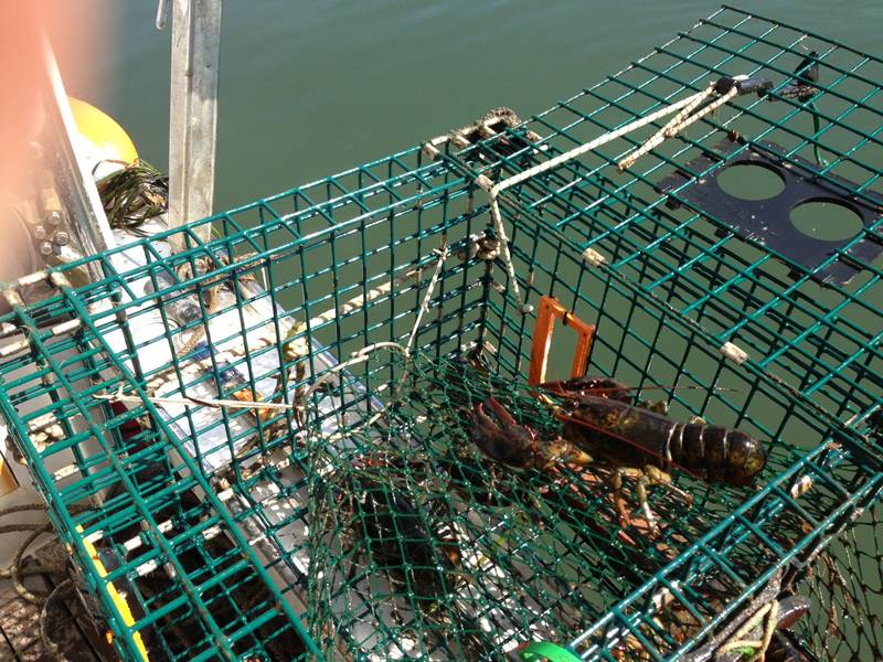 A lobster in the green lobster trap, the lid was opening.