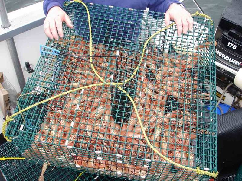 Green lobster trap is filled with shrimps.