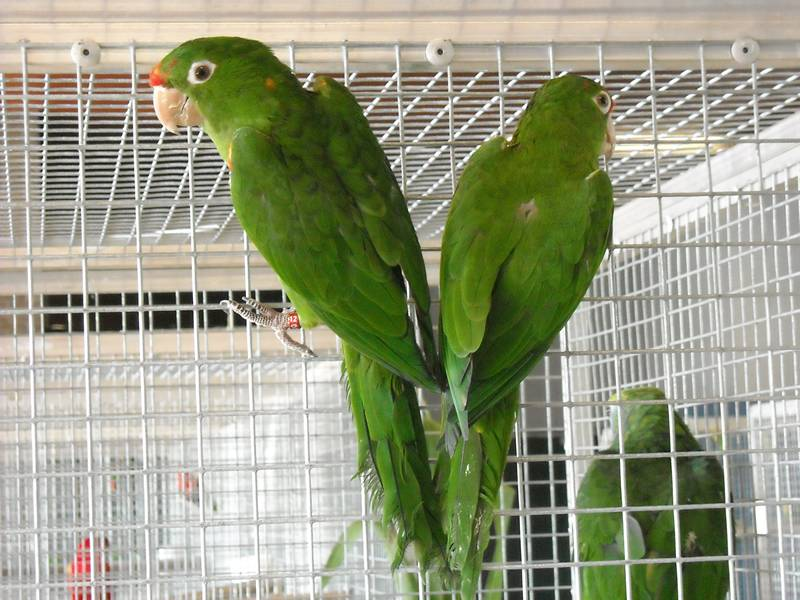 The green lovebirds are in an bird cage and lookout in different directions.