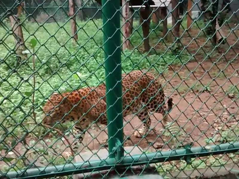 A leopard is walking on the zoo with green powder coated chain link mesh.