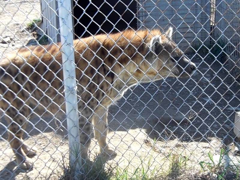 A wolf is in the zoo with chain link mesh.