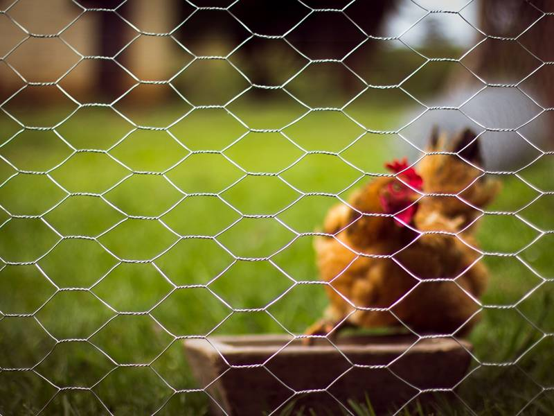 Hexagonal wire mesh used as livestock fence for chicken rearing.