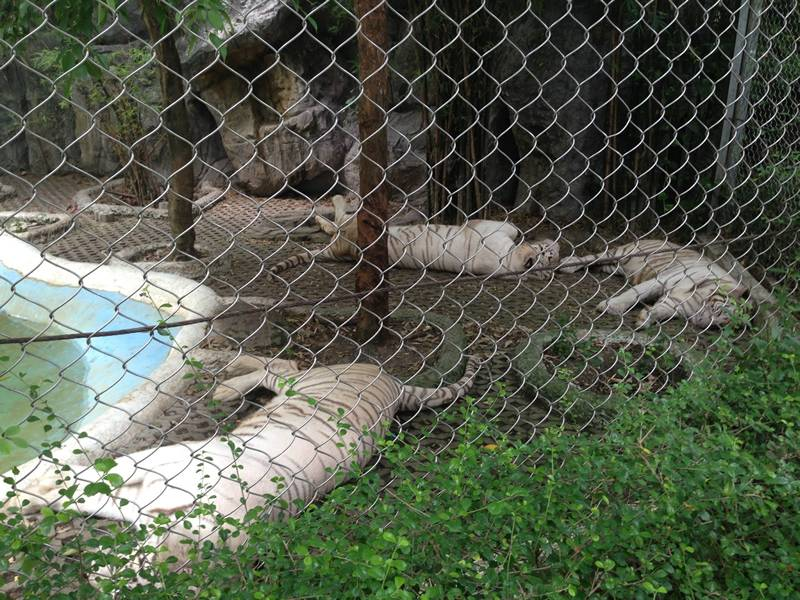 Tigers are lying on the zoo with chain link mesh.
